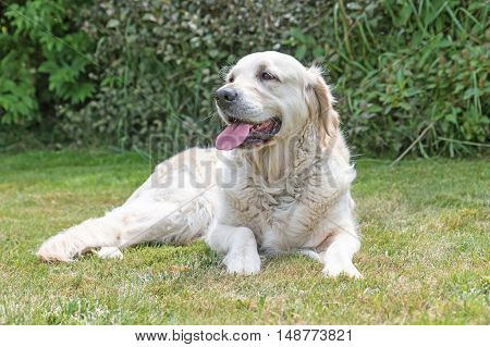 Portrait of the Golden Retriever dog with protruding tongue is lying on the lawn. The dog is looking ahead. Green plants are in the background. Horizontally.