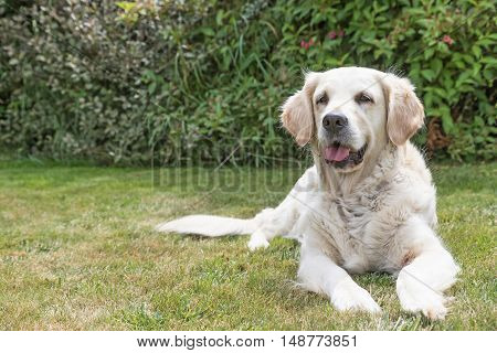 Portrait of the Golden Retriever dog lying on the lawn. The dog is looking at the camera. Green plants are in the background. Place for your text is in the left half of the picture.