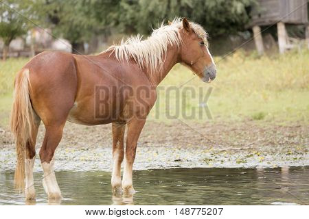 Beautiful brown horse stands in the water. Nature concept.