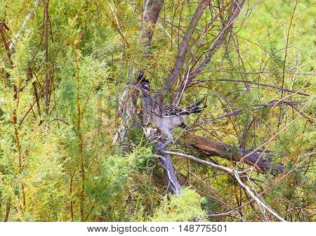 A greater roadrunner sitting in a tree near Calipatria in California USA.