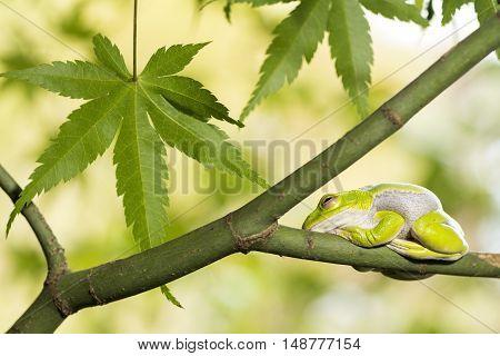 Schlegel's green tree frog resting on maple tree