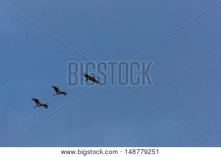 Three Sandhill cranes flying in a blue sky.
