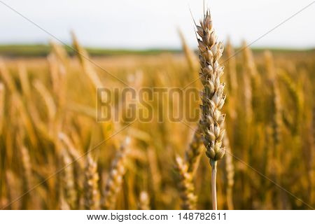 Ear of wheat close-up on a background of a wheat field