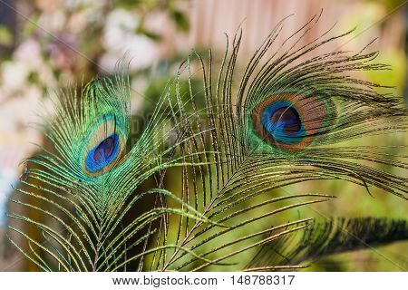 Colorful Indian peafowl tail eyes shining with isolated background
