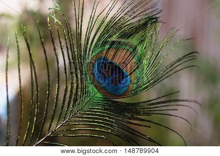 Indian peafowl tail eye brighten up on sun light