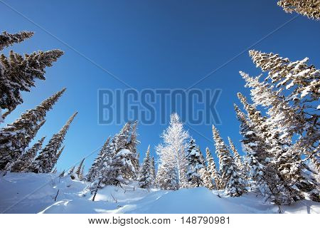 Dense snowy forest in mountains on the blue sky background