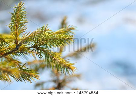 pine tree covered with frost. A close up
