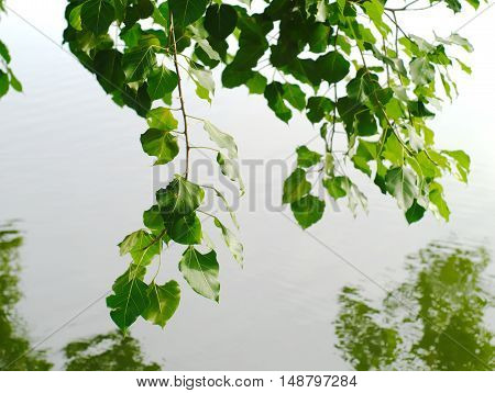 branches and leaves of a sacred fig or Ficus religiosa over a pool with reflection on the water surface