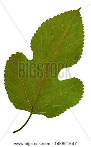 Pressed and dried leaf of mulberry (Morus nigra) on white background for use in scrapbooking floristry (oshibana) or herbarium.