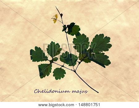 Herbarium from pressed and dried flower of greater celandine with Latin subscript Chelidonium majus on antique brown craft paper.