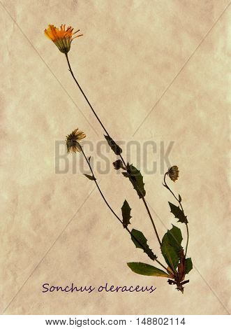 Herbarium from pressed and dried flowers of common sowthistle on antique brown craft paper with Latin subscript Sonchus oleraceus.