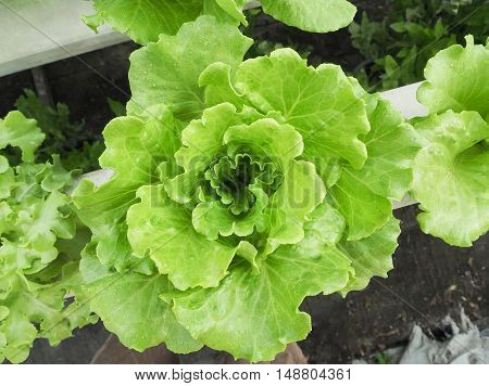 Organic lettuce at hydroponic farm. Food concept