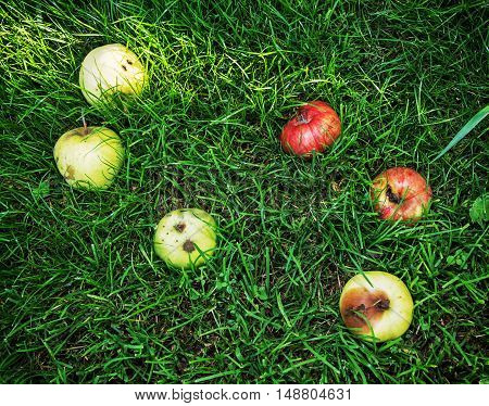 Red and yellow rotting apples in the green grass. Seasonal natural scene. Vibrant colors.