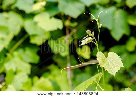 Background of vine leaves in a country garden in summer