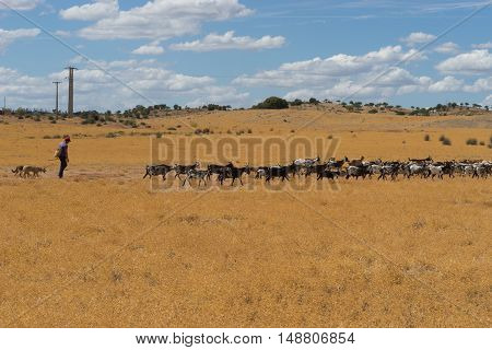 His goats follow him and his dogs through the scrub grass and fields foraging for something to eat