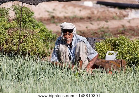 HAMAD TOWN, BAHRAIN - SEPTEMBER 23, 2016: A farmer is seen harvesting chives - Chive is a perennial plant that is used in salads in the middle east