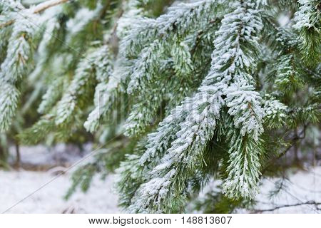 Winter Forest, spruce branches covered with snow. The frozen droplets of ice on spruce needles.
