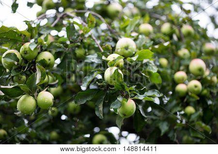 Ripe apples on the tree in garden