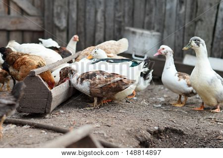 Chicken and cock on farm. Rustic theme..Geese and chickens