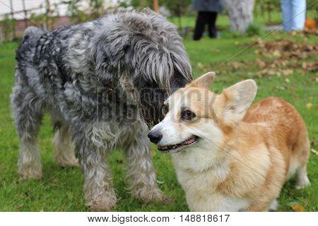 two dogs (Corgi and Schnauzer Mitel) talk, gossip on the green lawn