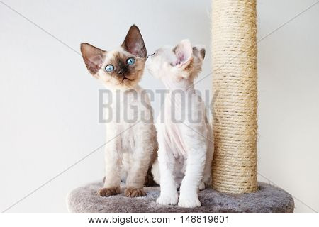 Funny Devon Rex kittens are sitting on the scratching post. Whispering. Pet Equipment, Accessories and supplies