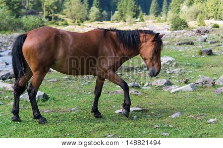 horse grazing beautifu animal in a meadow