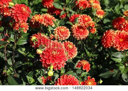 Wonderful Dahlia Flowers in a Garden in Germany