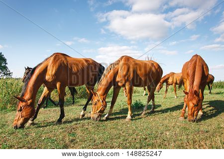 herd of horses is grazed on a alpine green meadow. Idyllic scenery with grazing horses, blue sky and white clouds. grazing horses in summer pasture