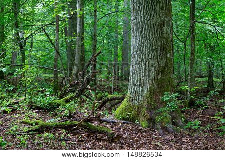 Primeval deciduous stand of natural forest in summer with old oak in foreground, Bialowieza Forest, Poland, Europe