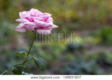 Beautifull red and white rose flower on blurred green background