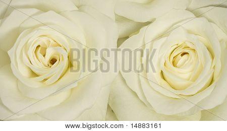 Two cream roses