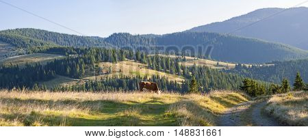 Summer landscape in the Carpathians with cow grazing on fresh green mountain pastures and mountain tops in the background