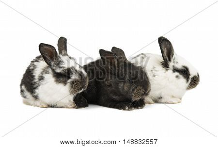 little rabbits fluffy on a white background