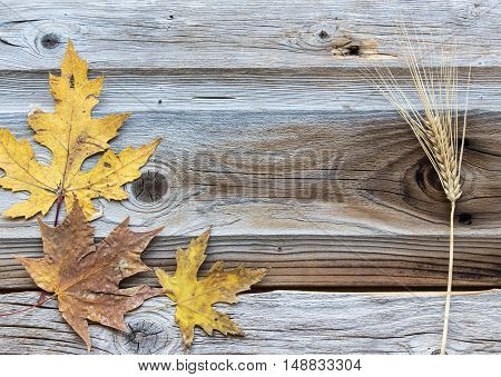 horizontal image of a great fall time greeting card idea with a background of old stressed wood and maple leaves on one side and a wheat stalk framing the other side with empty text space in middle
