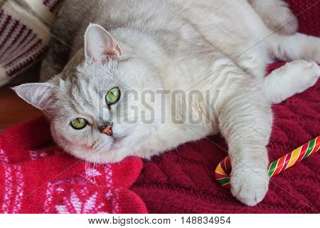 Lying adult white cat on a red background with a knitted mittens with bright Christmas lollipop