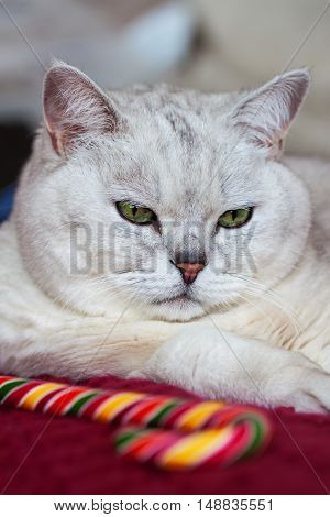 Portrait of a complete light-gray cat on a red knitted background with a bright lollipop