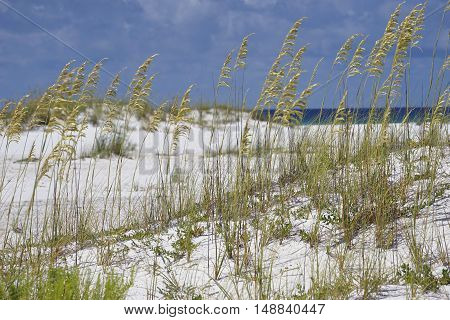 Golden sea oats waving in the breeze on a pristine beach in Pensacola Florida