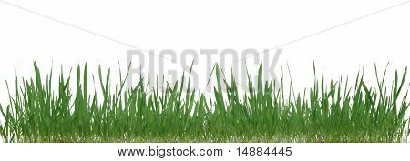 Grass Isolated.