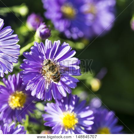 Violet Autumn Aster With Bee