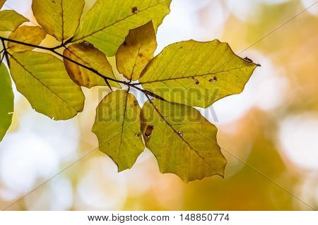 Autumnal Leaves Of European Beech In Warm Colors
