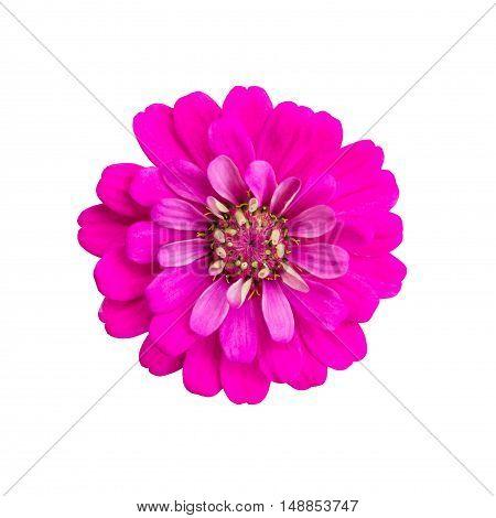 Pink zinnia flower isolated on white background