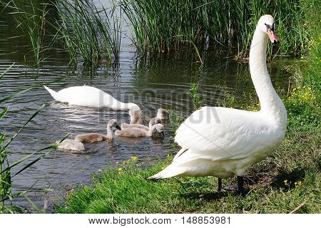 Swan family eating in the water near the shore and the male guards them ashore.