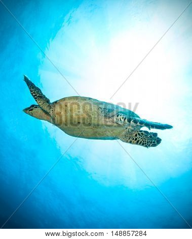 Hawksbill Sea Turtle flowing in ocean, photographed from low angle view