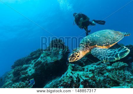 Scuba diver with Hawksbill turtle flowing in coral reef