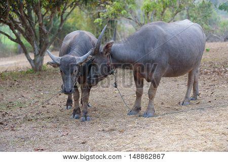 Dairy buffalo in farm in north of Thailand