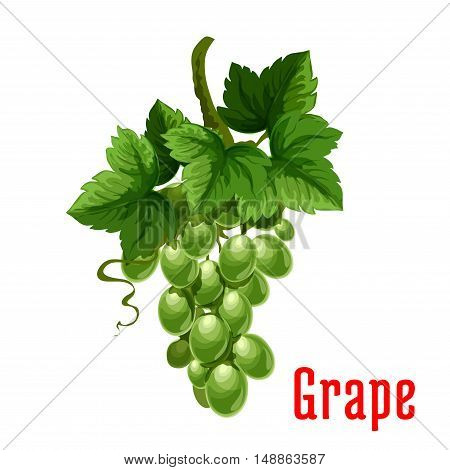 White Grape fruit. Isolated bunch of green grapes on stem with leaves. Botanical product emblem for juice or jam label, packaging sticker, grocery shop tag, farm store
