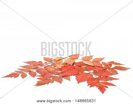 Dry autumn leaves isolated on white background. Koelreuteria paniculata