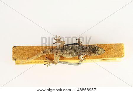 Gecko Lizard And Clothespi