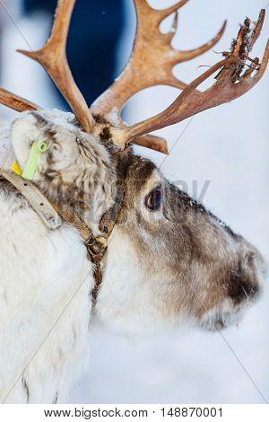 Reindeer in a winter forest in Finnish Lapland