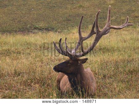 Resting Bull Elk